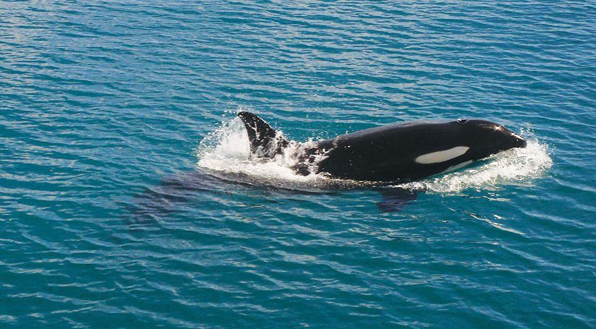 Orca in the Bay of Islands